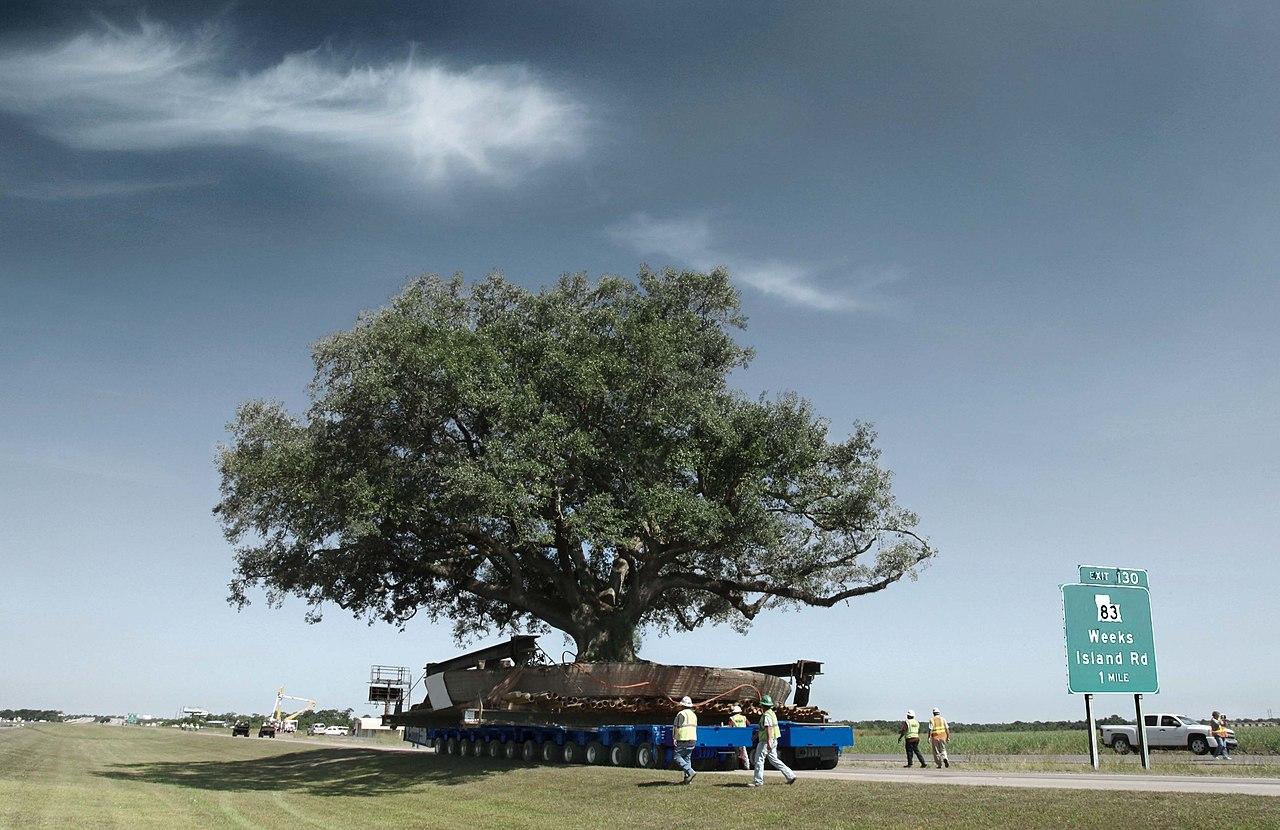 ゴールドホッファーの大型トレーラーで移動される木