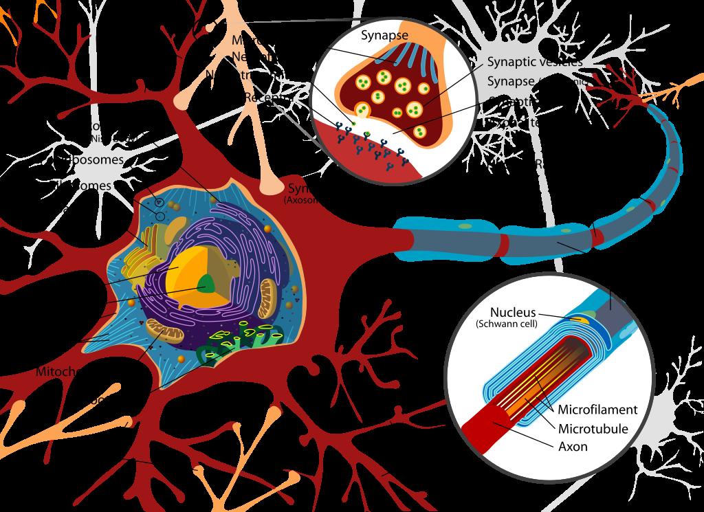 インボーロンとニューロン ~ 陰謀論にハマってしまう「おバカ」になる理由