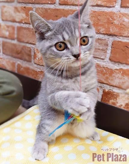 ブリティッシュ ブルータビー 子猫 大阪府高槻市 北摂 摂津 吹田 茨木 京都 長岡京