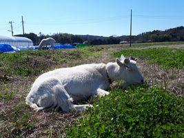 【写真】座りながら草を食べるアラン(遠くにポール)