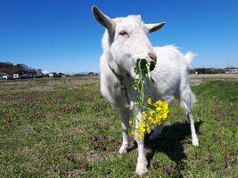 【写真】菜の花をくわえるポール