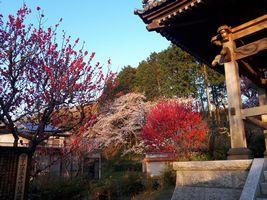 【写真】桜と紅白梅が咲く法巖寺の庭の様子