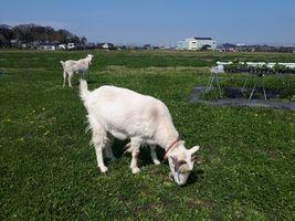 【写真】青空の下、のんびりと草を食べるアランとポール