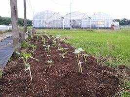 【写真】耕された花壇に植えられたひまわりの苗