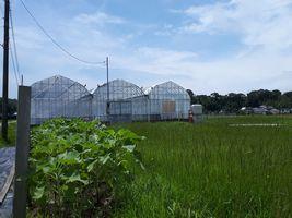 【写真】梅雨の晴れ間のひまわり畑