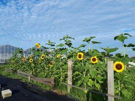 【写真】農園内に咲くひまわりの花々