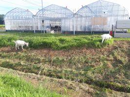 【写真】草刈り途中の土手の草を食べるアランとポール