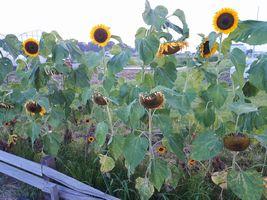 【写真】農園中央花壇に咲くひまわり