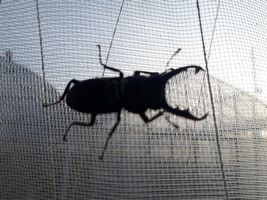 【写真】育苗ハウスのネットに張り付いているクワガタ