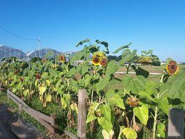 【写真】終わりに近づいた農園正面に植えたひまわり