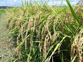 【写真】農園前の田んぼの稲穂が垂れている様子
