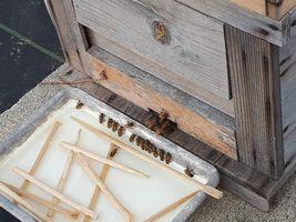 【写真】巣箱前に置いた砂糖水のトレーに行儀よく一列に並ぶミツバチたちの様子