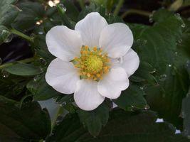 【写真】7枚の花びらがあるいちごの花