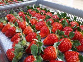 【写真】収穫した真っ赤に色づいたいちごが並んでいる様子