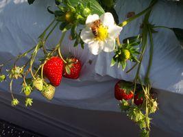 【写真】ミツバチといちごの白い花といちごの赤い実