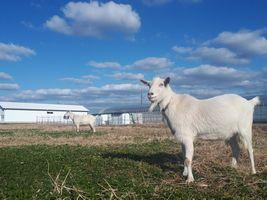【写真】草を食べている途中にこちらを振り向くポール