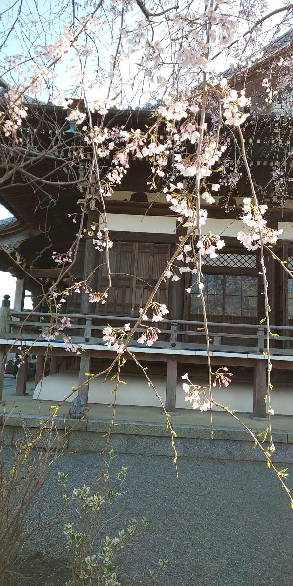 本覚寺の枝垂桜