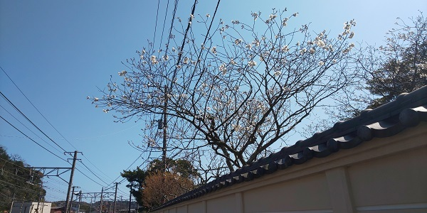 英勝寺の桜