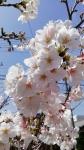 20210329AddCafe桜