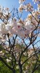 愛知平和町日光川八重桜