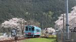 樽見鉄道と桜