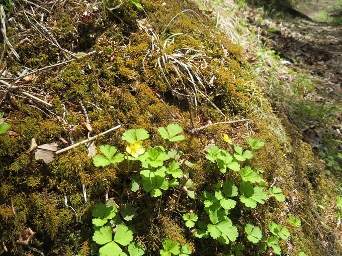 苔の中にさくコキンバイ