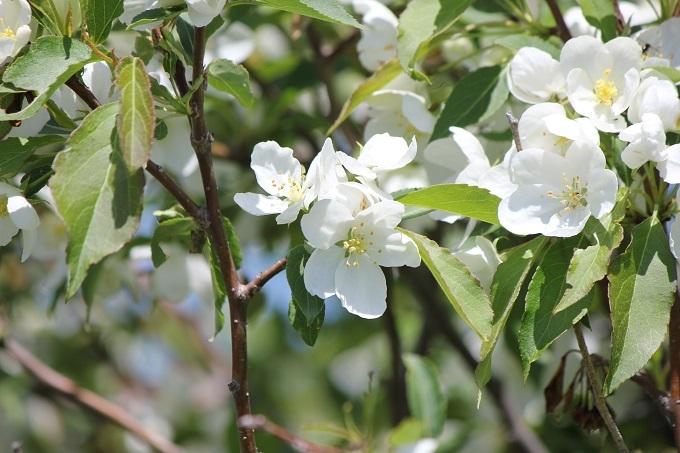 エゾノコリンゴ (3)