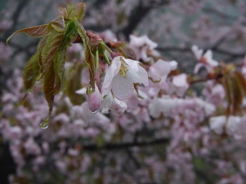 cherry blossme cry