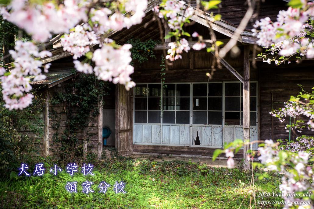 犬居小学校領家分校 講堂(?)昇降口前 廃校に咲く桜