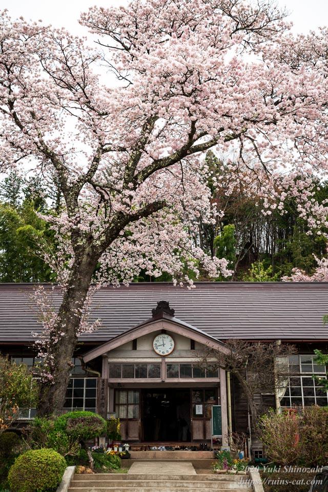 旧上岡小学校 廃校の桜 昇降口前