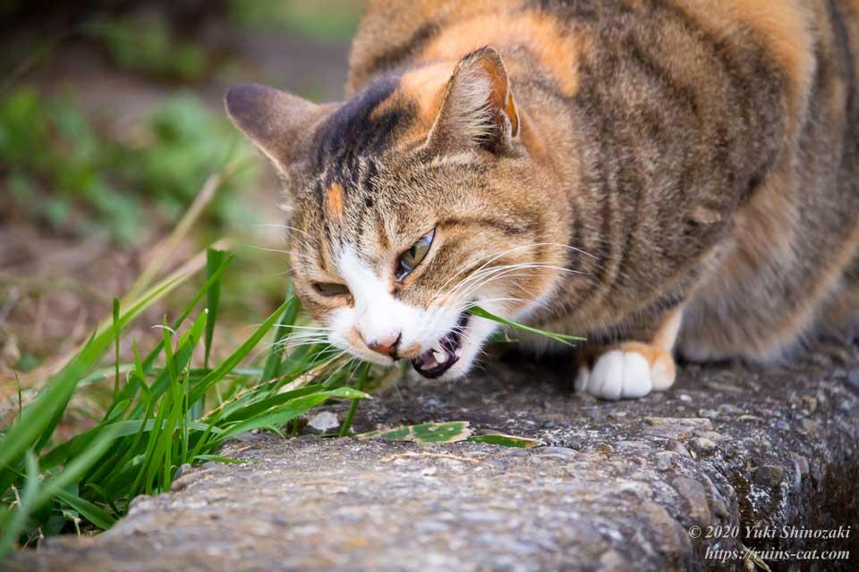 イネ科の雑草を食べるキジトラ猫