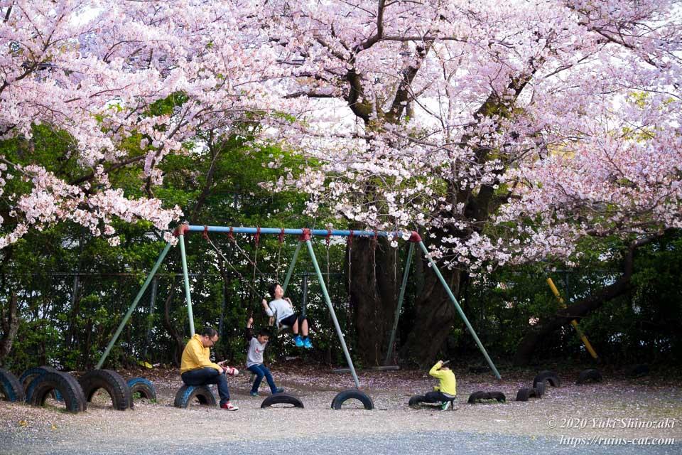 満開の桜の中、校庭の遊具で遊ぶ親子