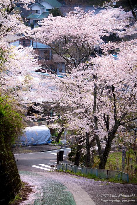 熊切小学校 廃校の桜 校門前の坂道