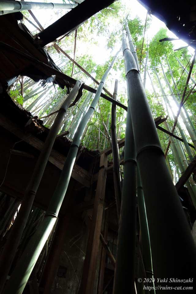 このコテージも生長した竹によって天井が突き破られている