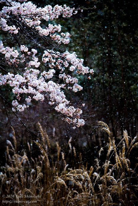 池津川小学校旧校舎裏手の桜(アップ)。頭を垂れた満開の桜の枝と、ススキと、白雪のコラボレーション。