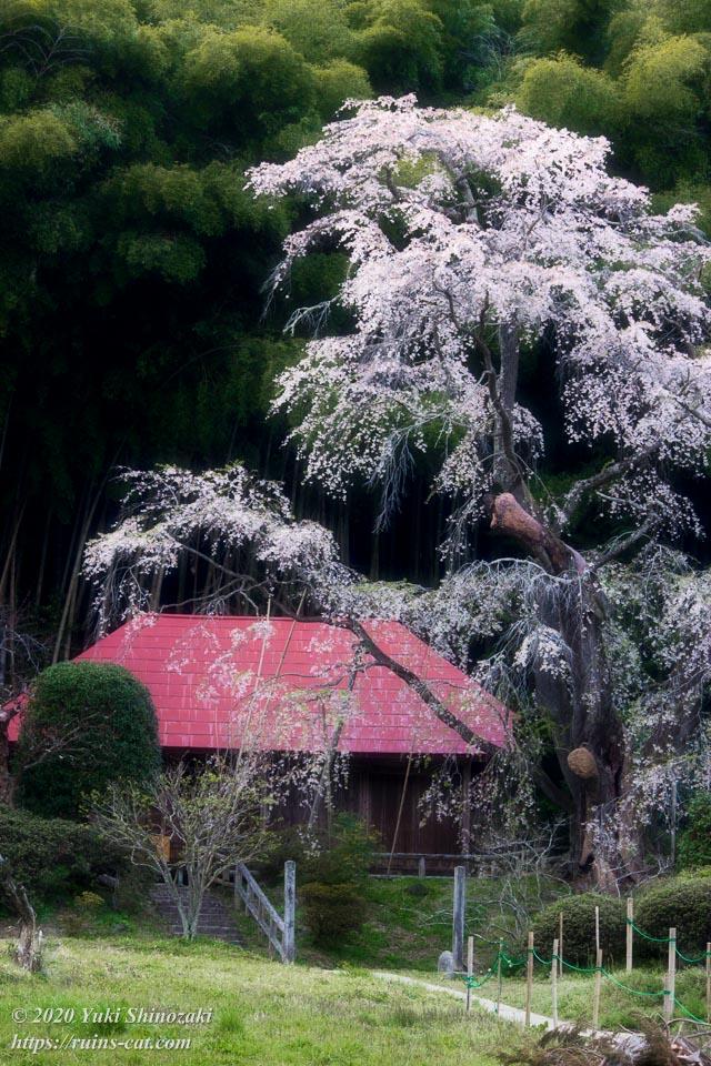 静かにたゆたう枝垂桜は、まるで水墨画の世界