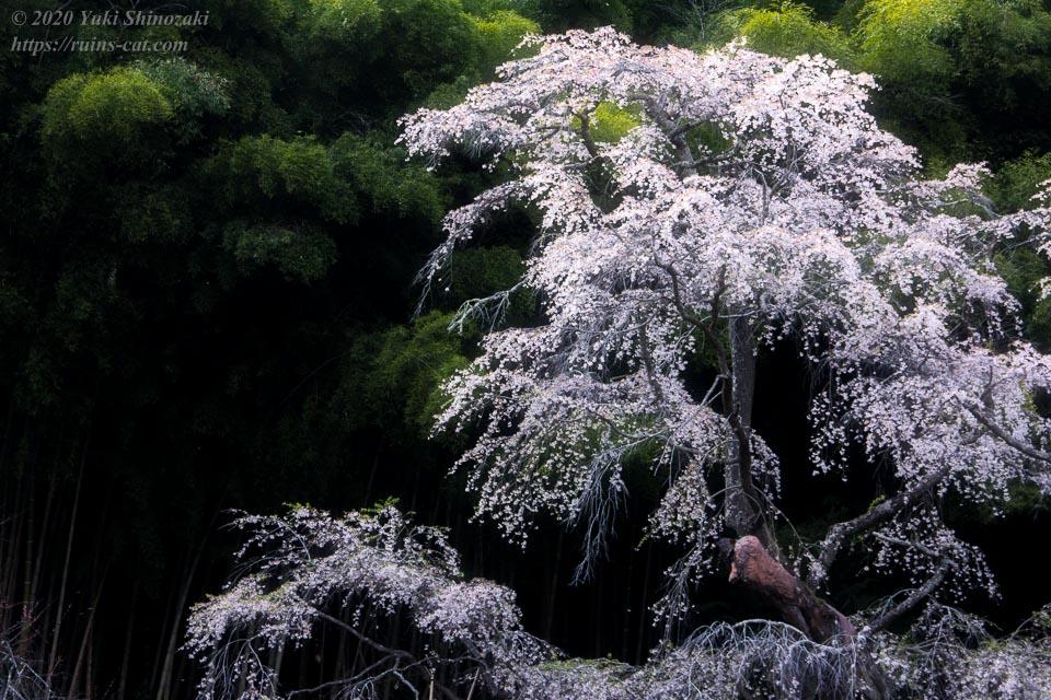 雪村桜 クローズアップ