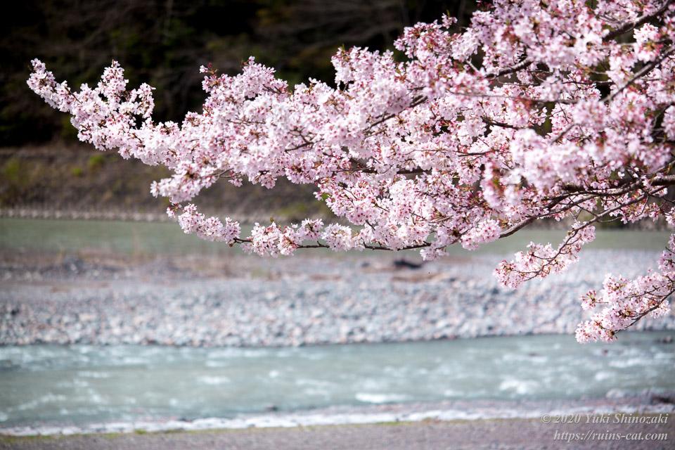 気田川のほとりに咲く桜