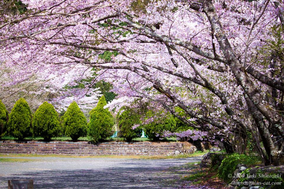 気田川の川沿いに咲く桜