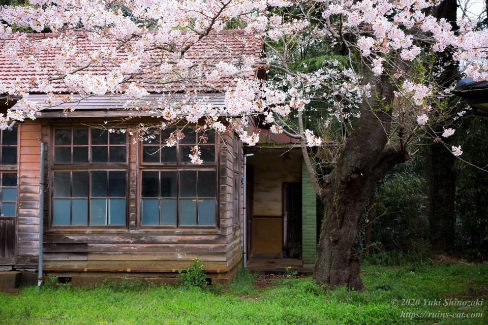 昇降口脇の桜 近景