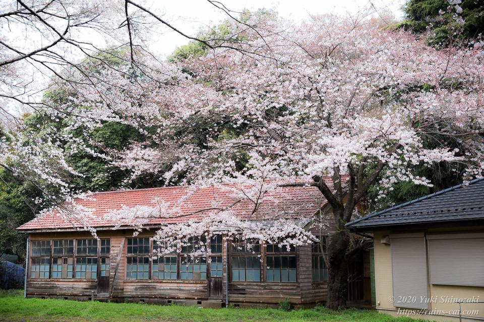 昇降口脇の桜が実に見事