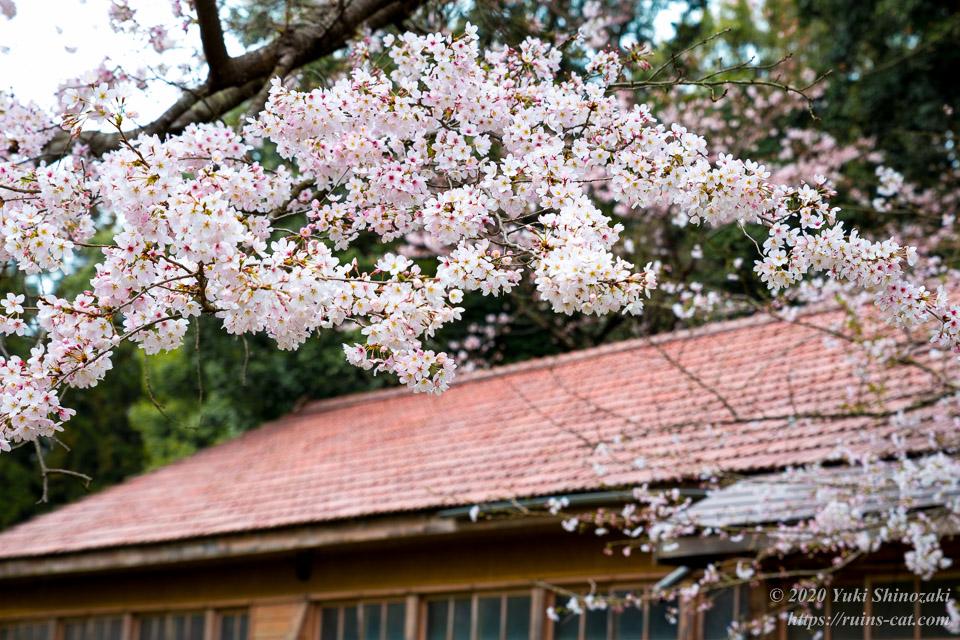 零れんばかりに枝に花をつけた桜