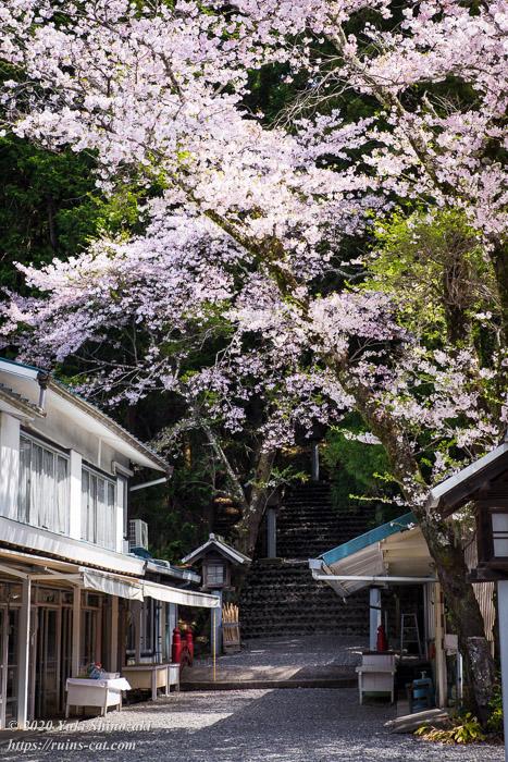 秋葉山本宮秋葉神社下社 表参道 満開の桜。左手には旅館「門前屋」が見えるが営業している様子はない。