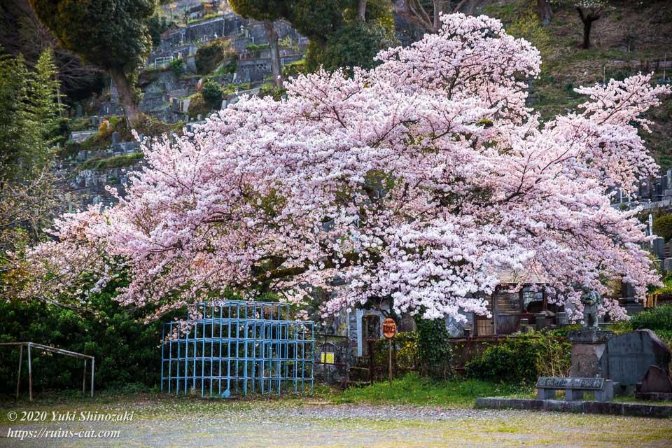 ジャングルジム横の巨大な一本桜