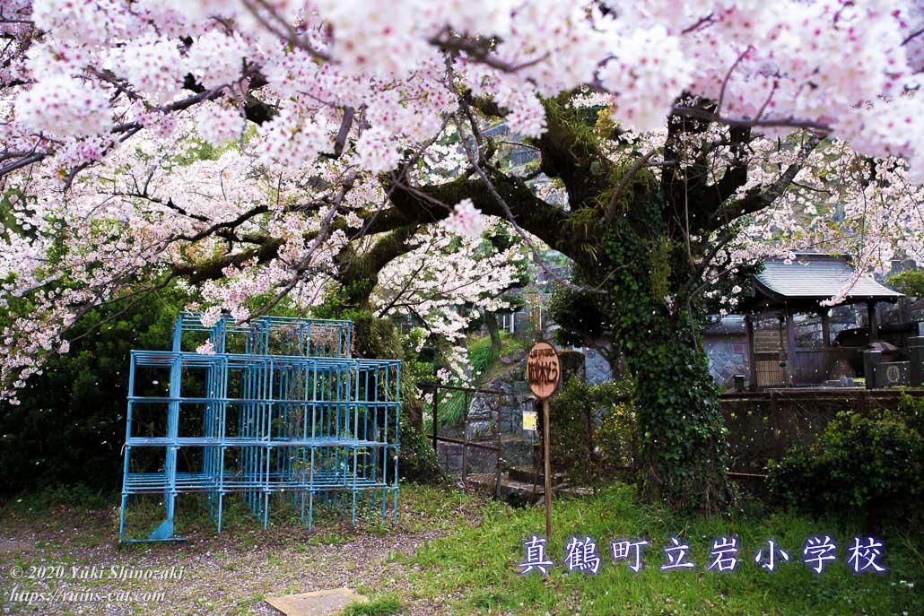 真鶴町立岩小学校 廃校の桜