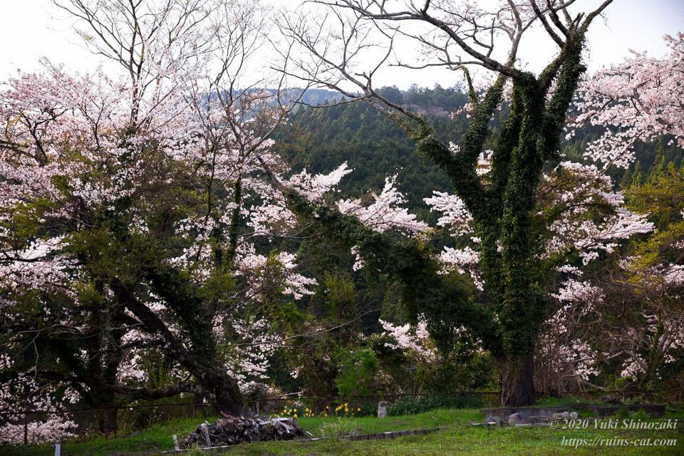 熊切小学校 校庭の桜