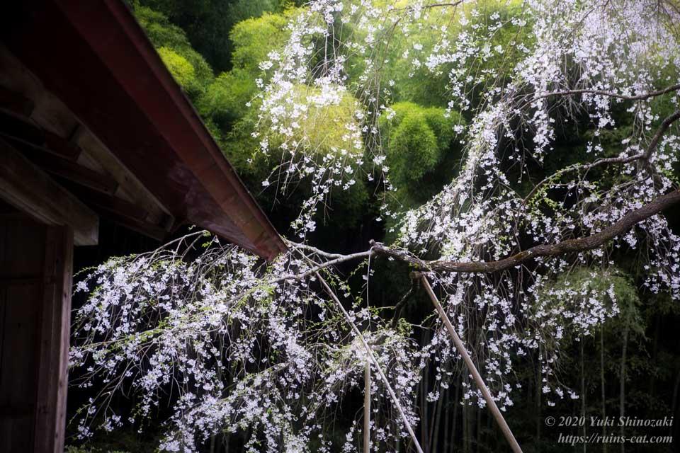 庵から見た雪村桜
