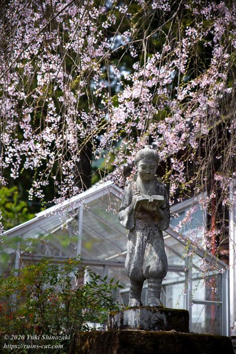 二宮金次郎像と枝垂桜