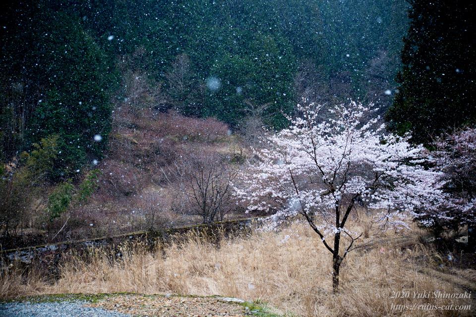 池津川小学校旧校舎裏手の桜。辺りには一面の薄原が広がり、雪が舞い降りている。