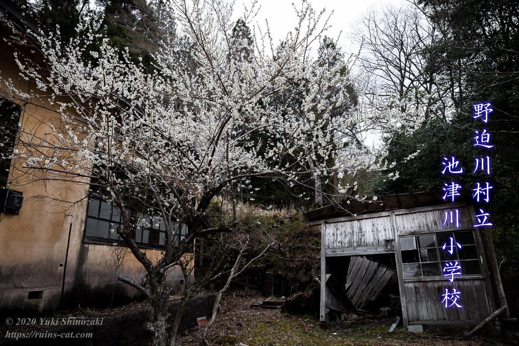 池津川小学校 裏庭に咲く白い桜